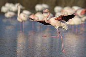 Greater flamingo (Phoenicopterus roseus) landing on lake, Camargue, Southern France, France, Europe