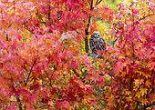 Chevêche d'Athéna (Athene noctua) dans les feuilles d'automne, Angleterre