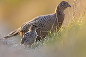 Pheasant (Phasianus colchicus) chick with his mother, England