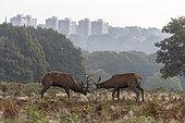 Red deer (Cervus elaphus) stag fighting amongst bracken