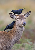 Red deer (Cervus elaphus) hind with jacdaw (Corvus monedula) on her head
