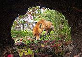 Red fox (Vulpes vulpes) near his earth, England