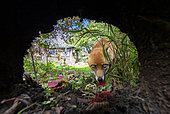 Red fox (Vulpes vulpes) walking near his earth, England