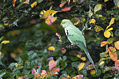 Ring-necked parakeet (Psittacula krameri) perched in a tree and feeding, England