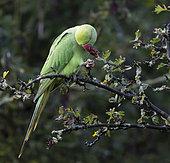 Ring-necked parakeet (Psittacula krameri) feeding on Hawthorn berries, England