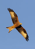 Red kite (Milvus milvus) in flight, England
