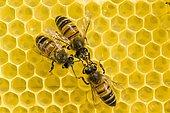 Three Carniolan honey bees (Apis mellifera carnica) on a honeycomb, Saxony, Germany, Europe