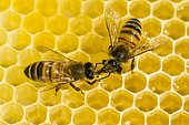 Two Carniolan honey bees (Apis mellifera carnica) on a honeycomb, Saxony, Germany, Europe