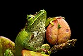 Neotropical frog (Pristimantis galdi), craugastoridae family, Tapichalaca nature reserve, Andean cloud forest, Ecuador, South America