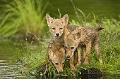 Coyote (Canis latrans), three pups at water, captive, Minnesota, USA, North America