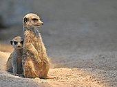 Meerkats or suricates (Suricata suricatta), juvenile, 13 weeks, peeking anxiously from behind older animal, captive