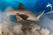 Nurse sharks (Ginglymostomatidae), mating, whirled sand, Bahamas, Central America