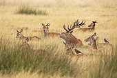 Red Deer (Cervus elaphus) stag surrounded by his hinds, with Jackdaws (Coloeus monedula), Richmond Park, London, England