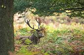 Red Deer (Cervus elaphus) in ferns, Richmond Park, London, England