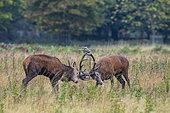 Red Deer (Cervus elaphus) stags fighting, Bushy Park, London, England