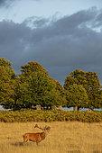 Red Deer (Cervus elaphus) belowing, Richmond Park, London, England