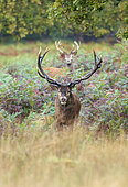 Red Deers (Cervus elaphus) in ferns, Richmond Park, London, England