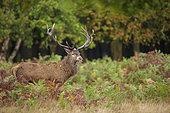 Red Deer (Cervus elaphus) belowing in ferns, Richmond Park, London, England