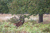 Red Deer (Cervus elaphus) lacerating the branches of a tree to deposit secretions from its drips, Richmond Park, London, England