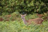 Eurasian jackdaw (Coloeus monedula) feeding on ticks on a deer doe (Cervus ealphus), Richmond Park, London, England