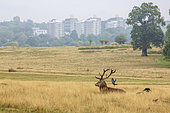 Red Deer (Cervus elaphus) and Jackdaw (Coloeus monedula), with London in the background, Richmond Park, England