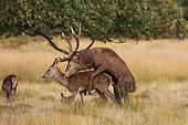 Red Deer (Cervus elaphus) mating, Richmond Park, London, England