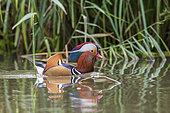 Mandarin Duck (Aix galericulata) male on a pond, Richmond Park, London, England