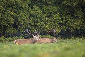 Red Deer (Cervus elaphus) provoking, in the ferns, Richmond Park, London, England
