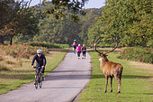 Red Deer (Cervus elaphus) regading passing cyclists and hikers, Richmond Park, London, England