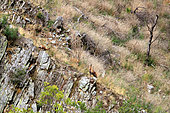 Fight of two males of Chamois (Rupicapra pyrenaica) in a asturian mountains in autumn, October, Peaks of Europe, Cangas de Narcea, Gijon, Spain