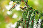 Kinglet (Regulus ignicapilla) listed fin its habitat, coniferous forests in autumn, october, listed forest yebes, Valdenazar, Guadalajara, Spain