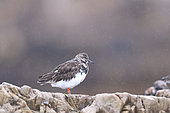 Ruddy turnstone (Arenaria interpres) in their habitat during the postnupcial migratory passage in autumn, under raining, october, San Lorenzo beach, Gijon, Asturies, Spain