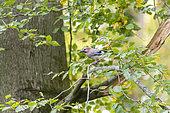 Eurasian Jay (Garrulus glandarius) in a beech in autumn, Moselle, France