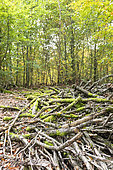 Dead wood in a forest in autumn, Moselle, France