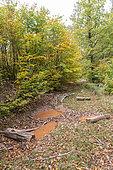 Sludge of European wild boar in a beech forest in autumn, Moselle, France