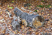 Beech tree trunk decomposing undergrowth, Moselle, France