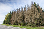 Attack of Bark beetles on an Epicea massif, Northern Vosges, Moselle, France
