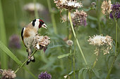 European Goldfinch (Carduelis carduelis) on a flower, Vaud, Switzerland