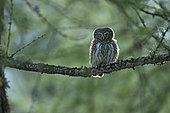 Pygmy Owl (Glaucidium passerinum) on a branch, Valais Alps, Switzerland.