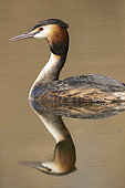 Great Crested Grebe (Podiceps cristatus) on the water, Lake Neuchâtel, Switzerland.