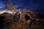 Night photograph of centenary Spanish Juniper (Juniperus thurifera), Iron island, Spain