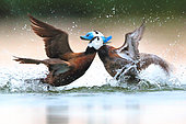 White headed duck (Oxyura leucocephala) male fighting in spring, Ciudad Real, Daimiel, Spain