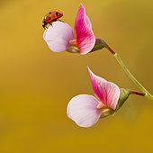 Ladybug (Coccinella septempunctata) in flower spring, el Troncon San Mateo, Gran Canaria