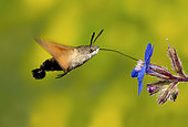 Sphinx colibri (Macroglossum stellatarum) in flight ridding to a flower, Valdenazar, Guadalajara, Spain