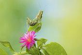 mantis pigmea praying mantis female camouflaged in garden flowers ameles spallanzania female yebes valdenazar guadalajara spain