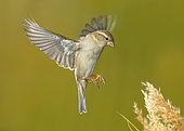 Sparrow (Passer domesticus) female in flight, Valdenazar forest, Guadalajara, Spain