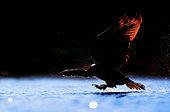 Great Cormorant (Phalacrocorax carbo) blacklight in flight, Daimiel, Ciudad Real, Spain