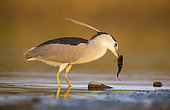 Night heron (Nycticorax nycticorax) fishing a catfish in the Guadiana river. Guadiana river, Daimiel Ciudad Real, Spain