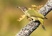 European green woodpecker (Picus viridis) in oak in spring, Yebes, Valdenazar, Guadalajara, Spain