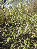 Ribes sanguineum 'Ice Circle'